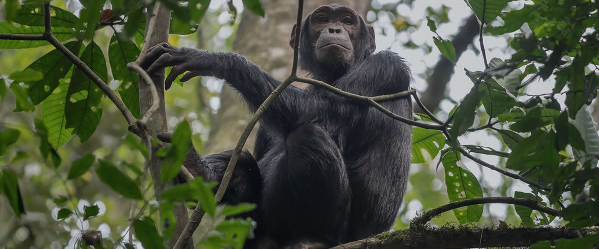Chimpanzee-Primates-in-Kibale