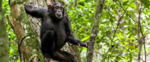 Chimpanzee Tracking Safaris in Kibale